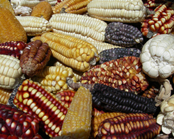 Yellow Maize Supply